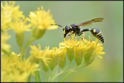 Urntjeswesp/Potter wasp