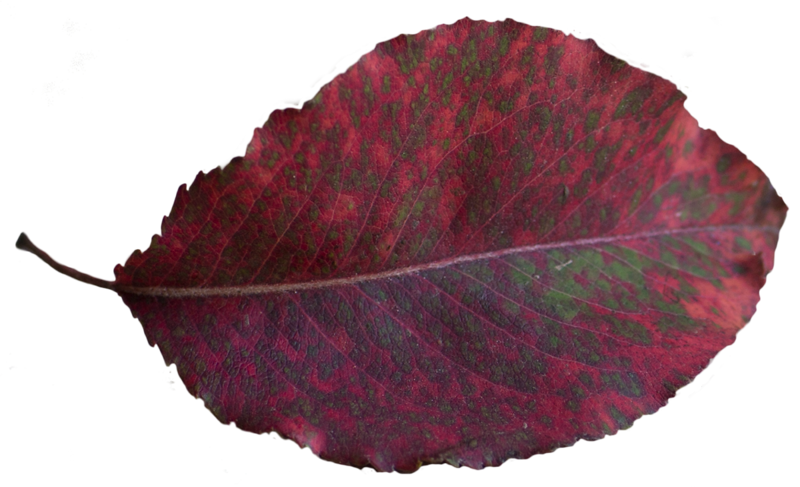 Leaf 48.png