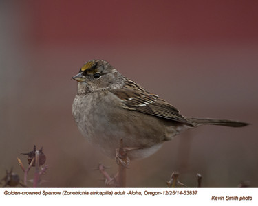 Golden-crowned Sparrow A53837.jpg