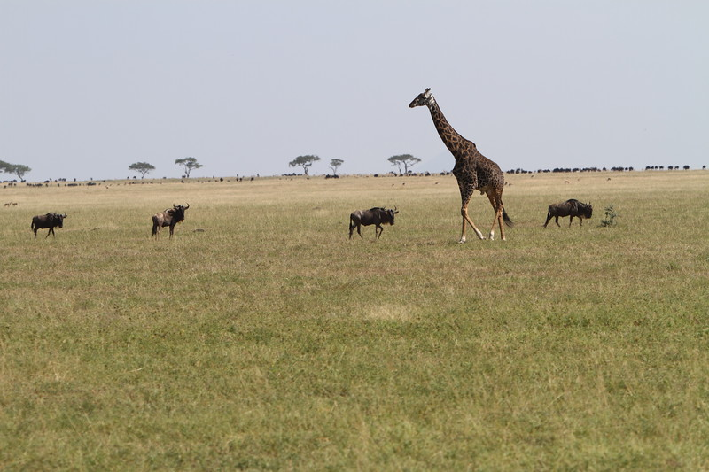 Giraffe and Wildebeasts.JPG