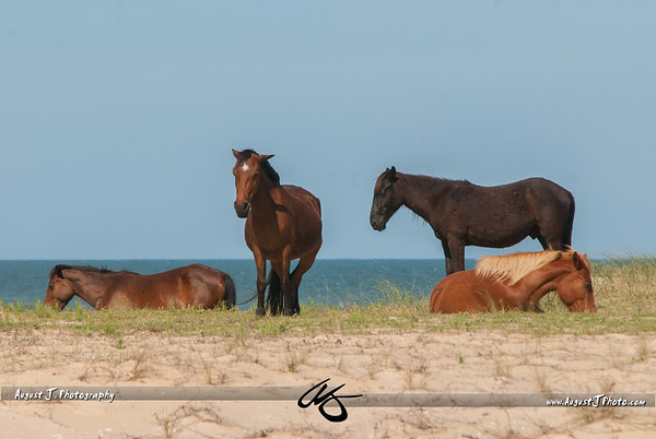 Corolla, NC; Wild Horses