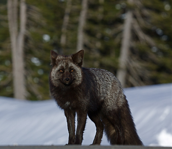 Cascade Fox  - this vixen wears the gorgeous Black / Silver color phase so prevalent in the Cascade Red Fox population.