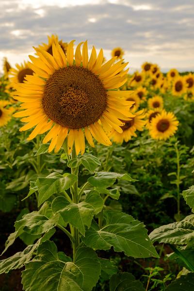 20190824 Burnside Farms Sunflowers 002.jpg