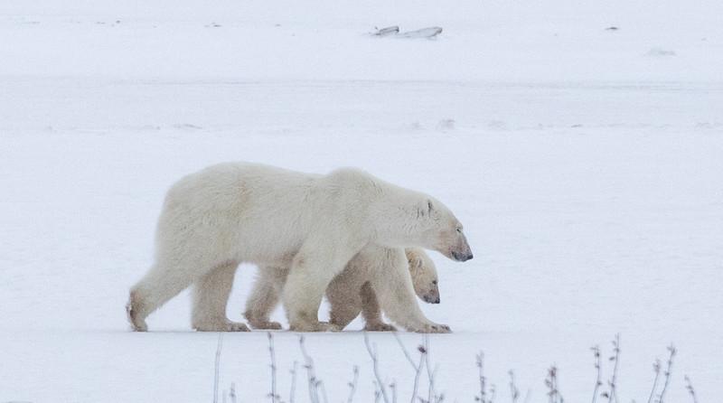 Polar Bears and Churchill