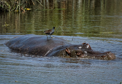 Hippos of Tanzania