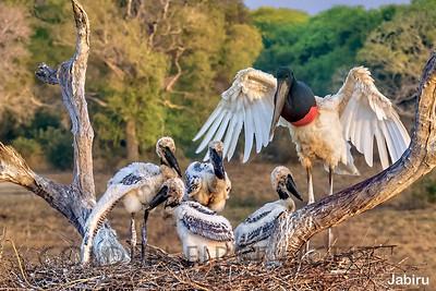 Jabiru, Pantanal, Brazil