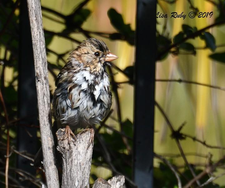 Harris's Sparrow - 3/3/2019 - Backyard Sabre Springs