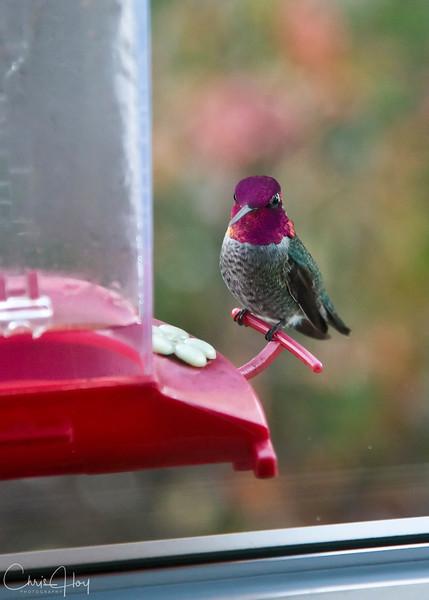 Annas Hummingbird.jpg