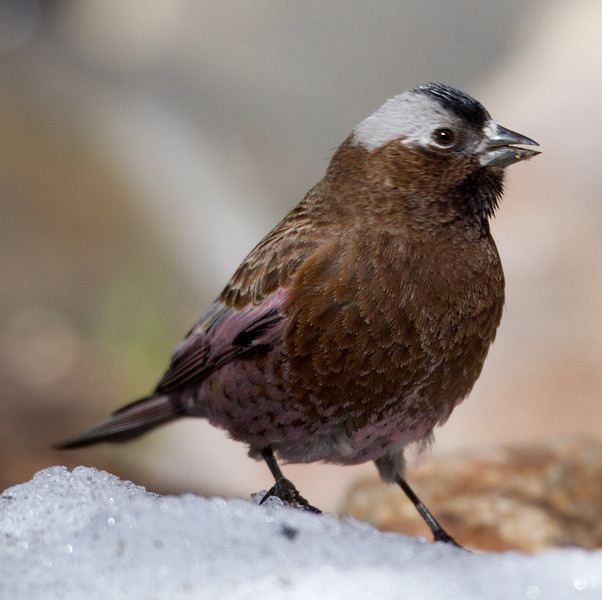 Gray-crowned Rosy- Finch Aspendel 2014 03 19-5.CR2