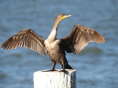 Anhinga & Cormorants