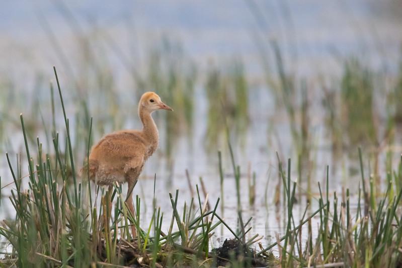 Sand Hill Crane chick - Sierra Valley, CA, USA