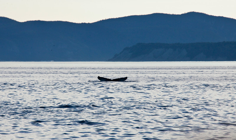 2011 quebec whale watching (70 of 80).jpg