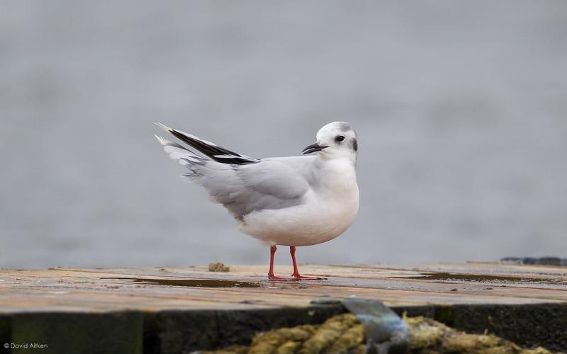 Little Gull - Hornsea Mere, Yorkshire 01/10/17