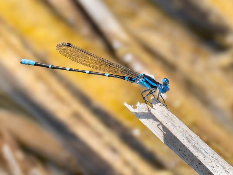 Blue-ringed Dancer (Argia sedula), male