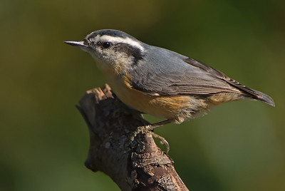 Nuthatches
