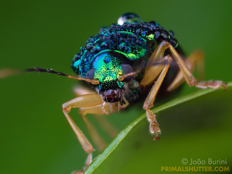 Metallic green beetle covered by rain droplets