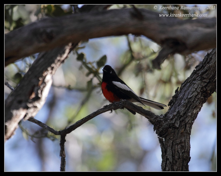 Painted Redstart at the Proctor Road Trail, Madera Canyon, Arizona, November 2011