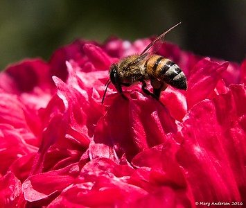 Carlsbad Flower Fields 4/10/16
