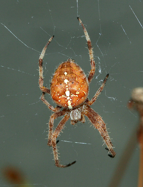 4139 Garden Spider.jpg