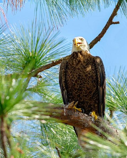 Eagle_DSC9354-copy.jpg