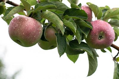 Hollis Hills Farm Apples 092421