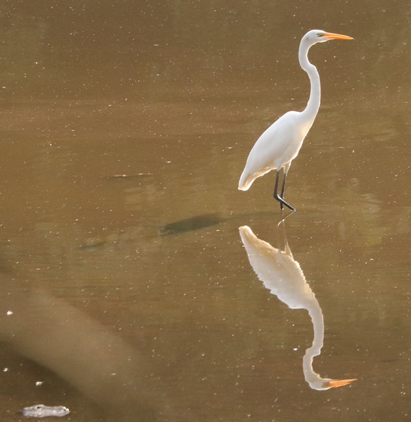 Great white egret 53