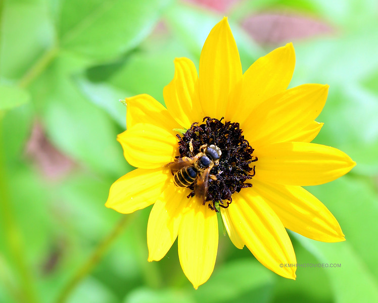 Bee on a yellow Flower.jpg