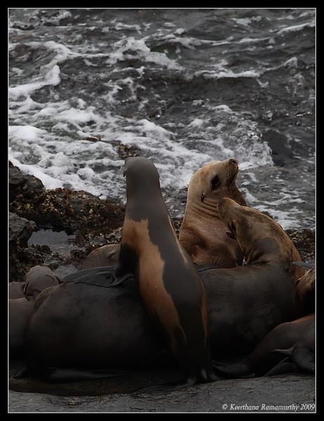 California Sea lion, La Jolla Cove, San Diego County, California, May 2009