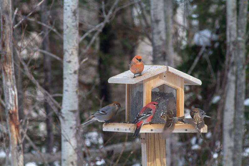 Pine Grosbeak at Welcome Center feeders Owl Avenue Sax-Zim Bog MN -1513.jpg