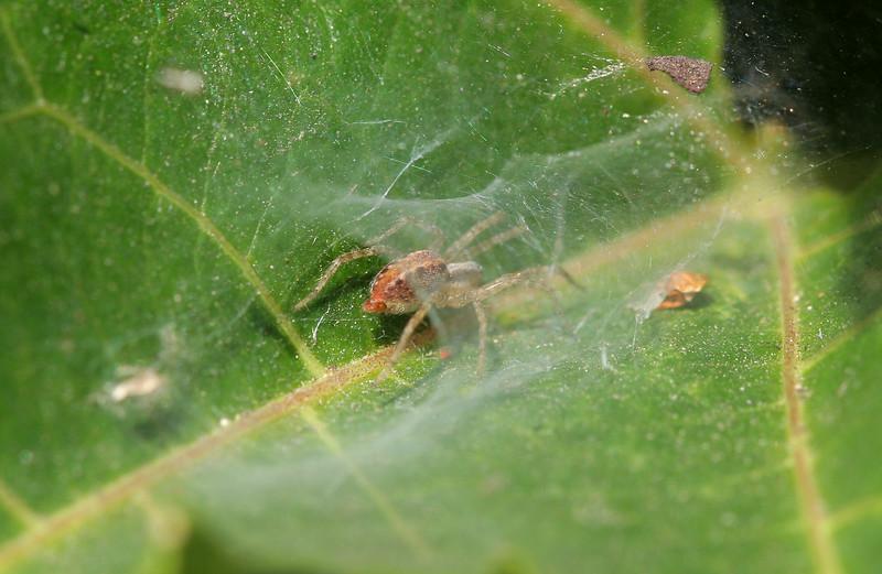 0868 Leaf spider.jpg