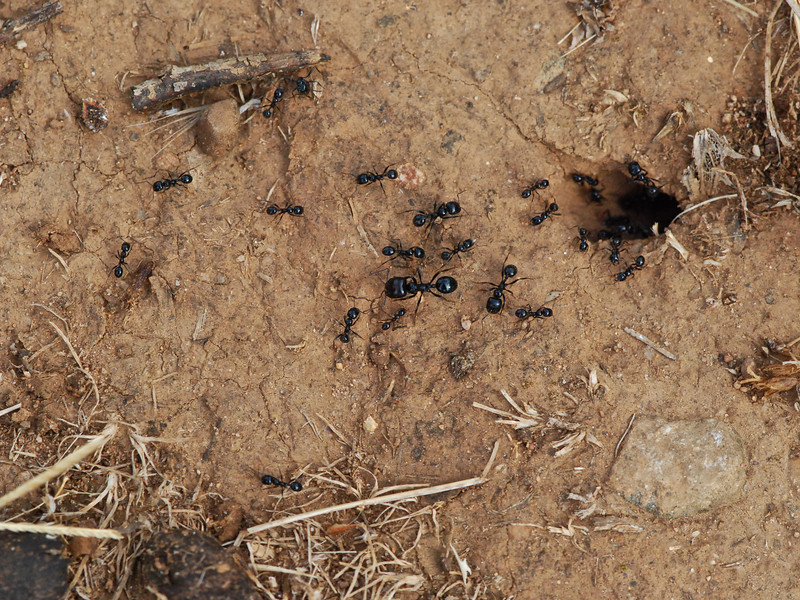 ants going back into their tunnel, Camargue South of France 2009 ak