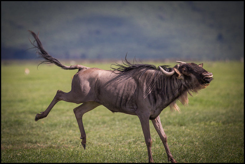 Wildebeest, Ngorongoro Conservation Area