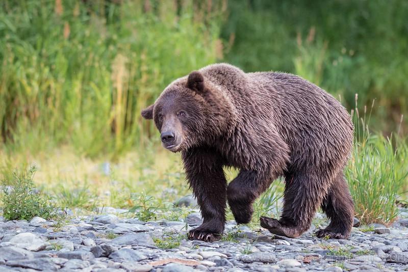 Brown Bear Looking Perplexed Russian River Cooper Landing, Alaska © 2014