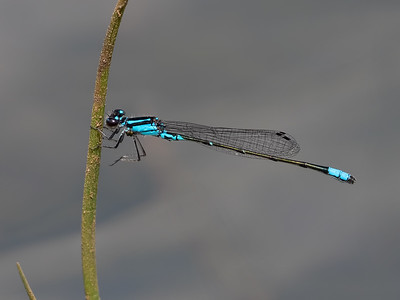 Skimming Bluet