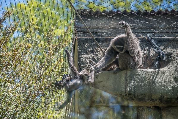 Gibbon Family