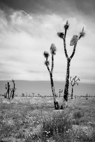 Joshua Tree National Park, California, USA
