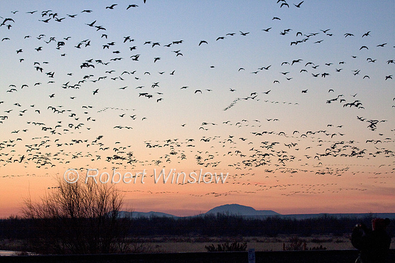 Snow Geese and Sandhill Cranes, Bosque del Apache National Wildlife Refuge, New Mexico, USA