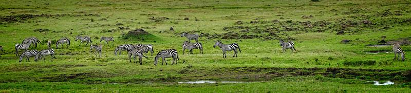 Zebra Pano 1