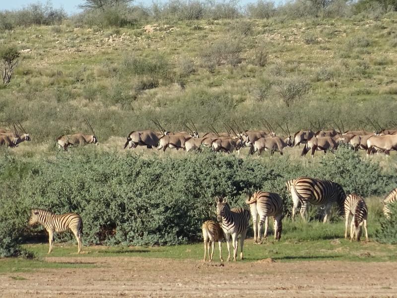 028_Gondwana Kalahari Park. Gemsbok (Oryx Antelope) and Burchell's Zebras (plain), stripes stops at mid-leg. Alternate colour between Brown and White.JPG