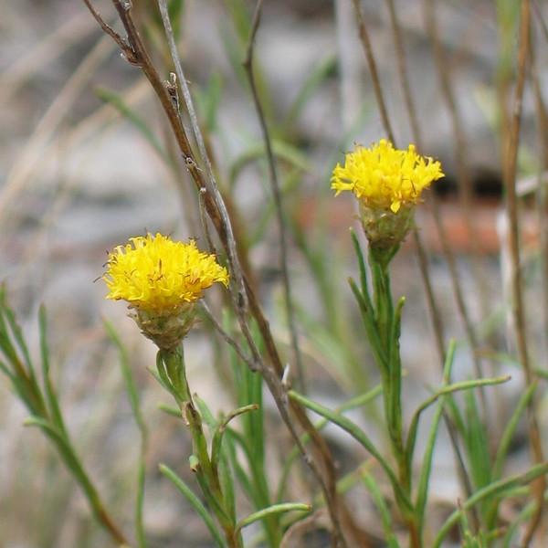 Rutidosis leptorhynchoides / Button Wrinklewort