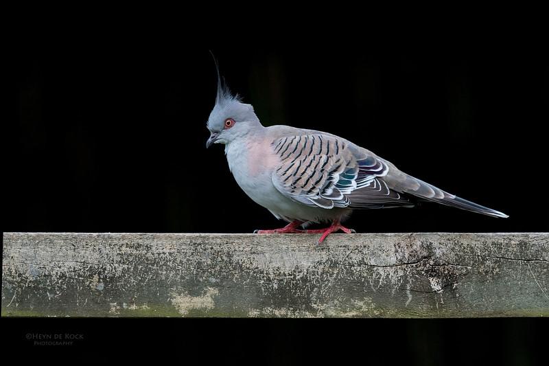 Crested Pigeon, Tallai, QLD, April 2017-1.jpg