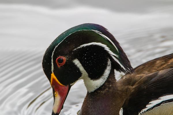 Geese, Ducks, Mallards, loons, Comorants