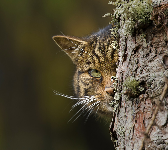 Scittish Wildcat
