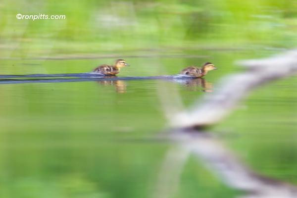 sm ducklings_M4D6009.jpg