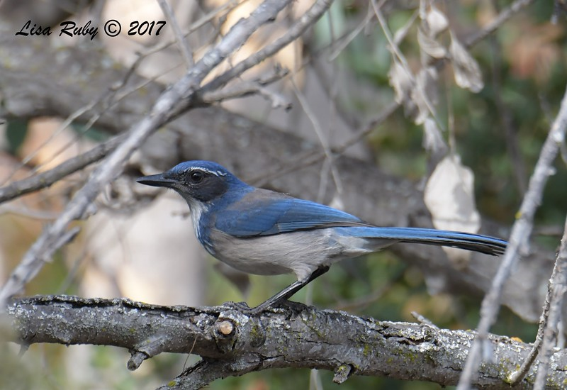 California Scrub Jay - 11/3/2017 - Trail to Poway Pond
