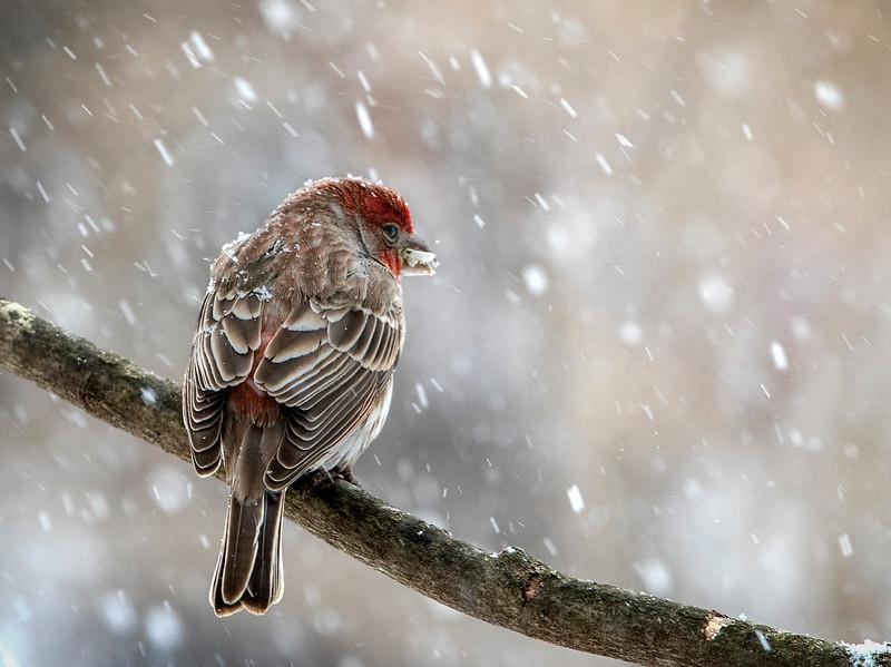 SnowyFinch_02.jpg