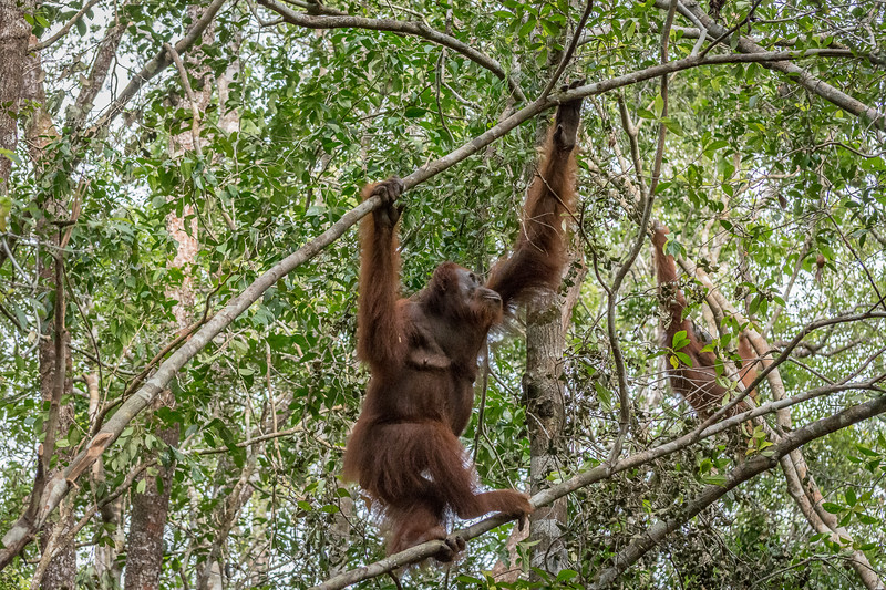 Orangutans live in the tops of the jungle canopy, rarely ever coming to the ground