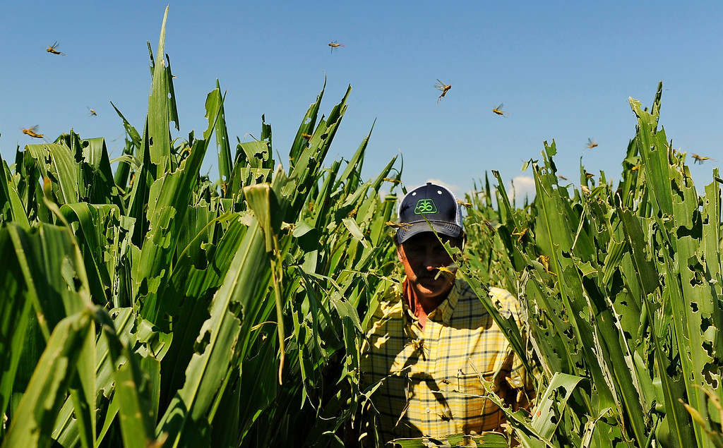. Farmer Harry Strohauer walks in one of his corn fields near Lasalle on Thursday, July 19, 2012. Thousands of grasshoppers have destroyed the field during the current drought conditions. RJ Sangosti, The Denver Post