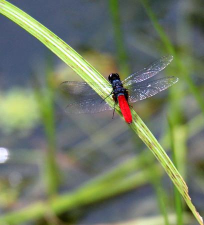 Damselfly & Dragonflies  (5)