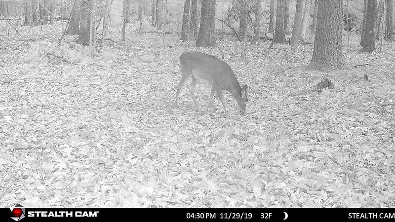 11-27-19 through 12-1-19....one deer at night only smelling Dirt Bag Deer Bait that I put out on November 15